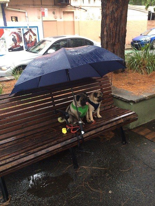 <b>There's a lot more a pug can do than just sit around and look cute.</b>