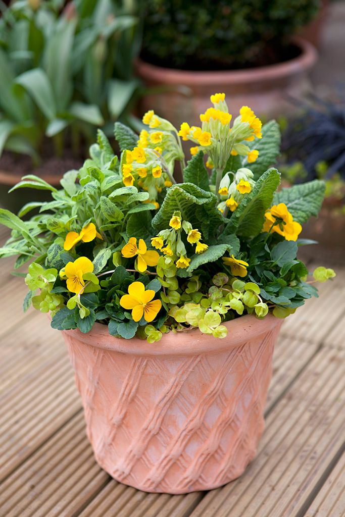 Pot for April colour. Contains Primula veris, Lysimachia nummularia, yellow-flowered viola and Salvia officinalis 'Icterina'. Photo by Sarah Cuttle. For another spring, yellow-themed pot, visit http://www.gardenersworld.com/plants/pots-containers/bulbs/daffodil-and-primula-pot-display/1153.html