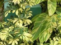 The leathery-leaf dwarf Shefflera arbicola tolerates very low humidity, and comes in green or variegated forms.