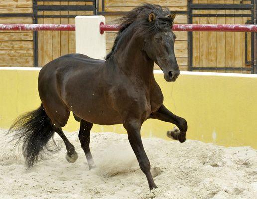 """Andaluz, """"o rasă naturală, din vremuri preistorice"""", aceasta este definția pe care a dat-o cailor andaluzi, eminentul profesor Don Rafael Castejón, considerat de spanioli """"tatăl"""" acestei rase de cai. www.horseland.ro"""