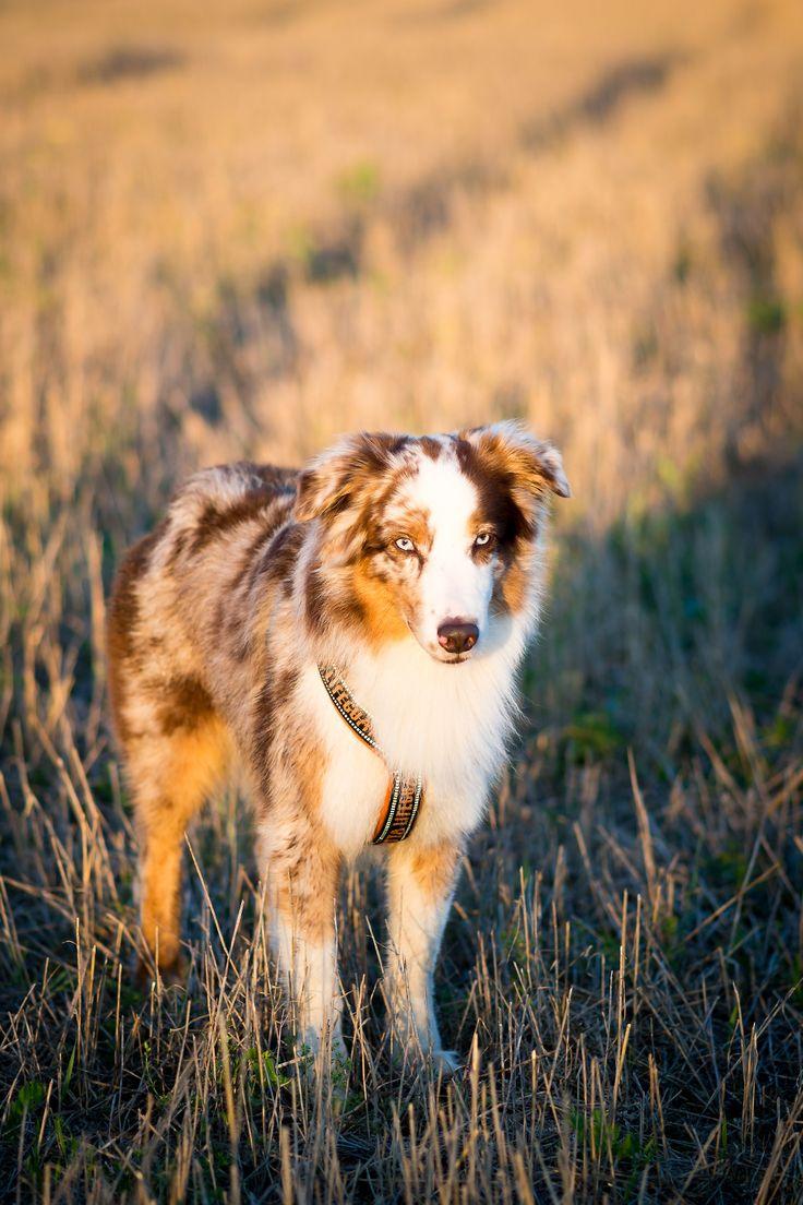 Best 25 Red merle australian shepherd ideas on Pinterest