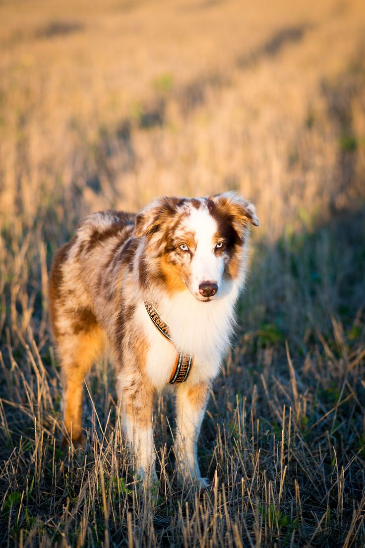 271 best images about mini aussie shepherds on pinterest miniature aussie puppies and. Black Bedroom Furniture Sets. Home Design Ideas