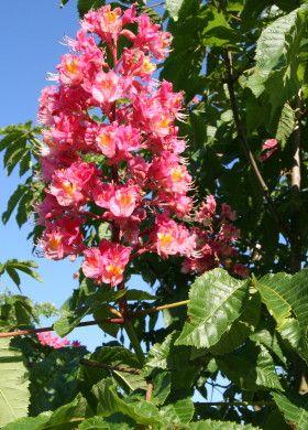 "Aesculus x carnea ""Briotii""  #ippocastano #rosso d'innesto - #red #horse-chestnut - #marronnier à #fleurs #rouges - #Fleischrote #Rosskastanie - #Castaño de #Indias #rojo #híbrido - #rode #paardenkastanje  Cultivated in Europe as an #ornamental #plant, beautiful #bloom in #May"