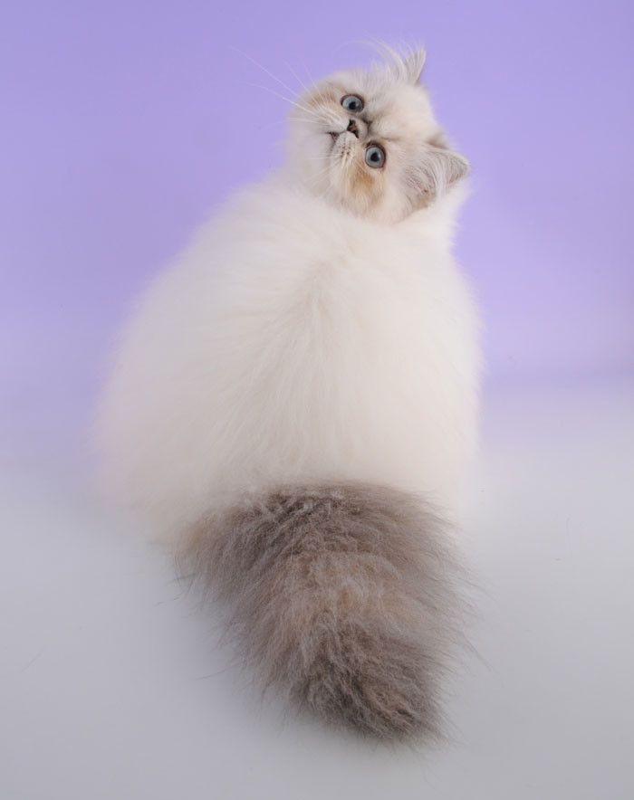Гималайский кот.