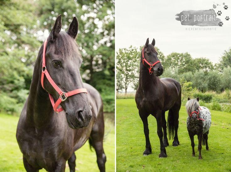 Paardenfotograaf - Fotoshoot voor een Fries paard en een Shetlandpony-11