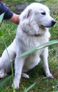 Date Listed 29-Jun-13 Address Grande Prairie, AB T8V 3A1, Canada  View map Friday night around 5 pm, my pure white Pyrenees, Kia, wandered away from my work site. It was on the Bald Mountain Tower Road, km 10. Kia is very friendly with adults and children. We are missing her lots, and would like to bring her home. Please phone Tami at 780-505-2370