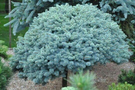 Picea pungens 'Haley's Blue'