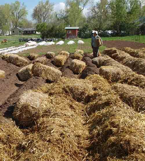 How To Grow Potatoes In Straw