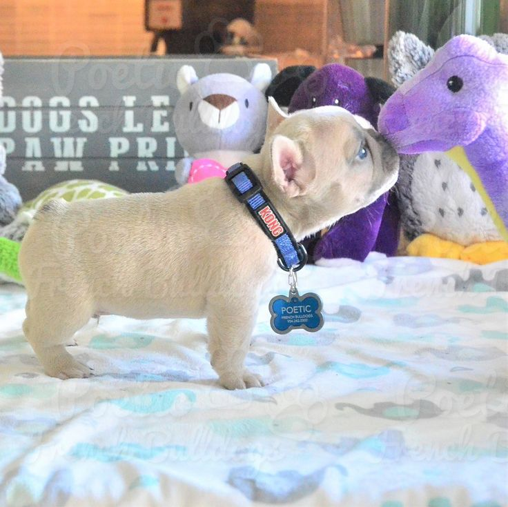 French Bulldog puppy for sale in FORT LAUDERDALE, FL. ADN-53767 on PuppyFinder.com Gender: Male. Age: 7 Weeks Old