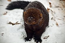 Fisher (animal) - Wikipedia, the free encyclopedia