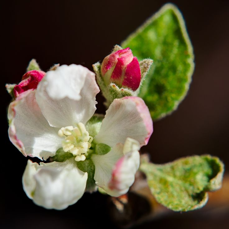Apple blossom flower Macro Photography - Milieux Photography