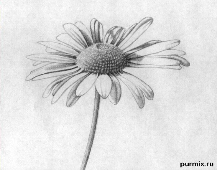 Daisy Flower Line Drawing : Daisy drawing related keywords suggestions long