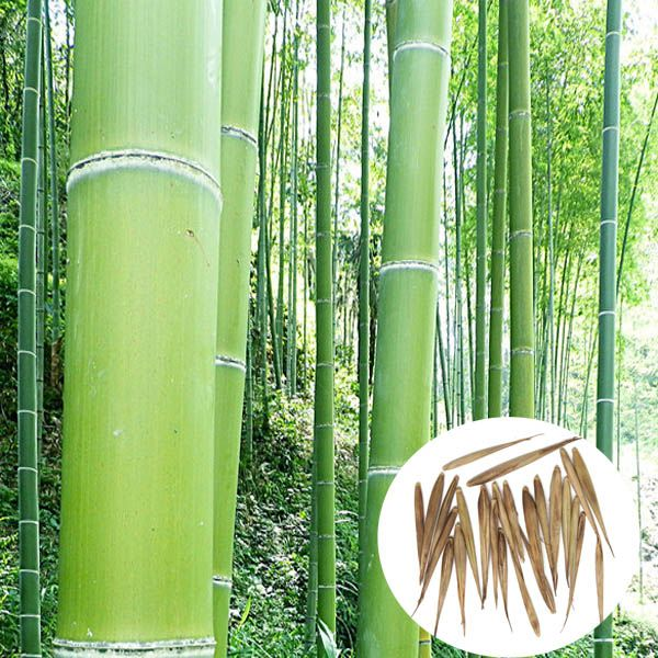 100pcs Garden Evergreen Arbor Moso Bamboo Seeds Courtyard Phyllostachys Pubescens Plants