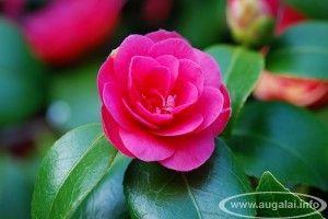 Liutui. Kamelija (Camellia).