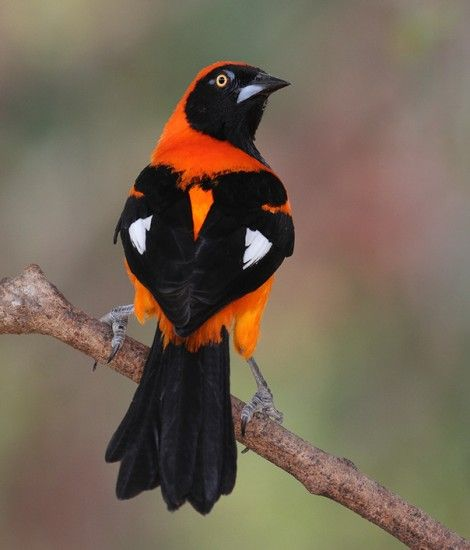 Feast your eyes on the gorgeous Orange-backed Troupial