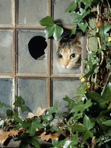 Tabby Tortoiseshell in an Ivy-Grown Window of a Deserted Victorian House Premium Poster