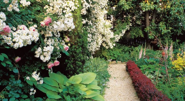 Small backyard white roses barberry hedge william morrow for William garden designs