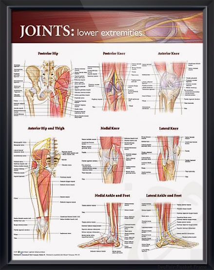 Joints: Lower Extremities anatomy poster shows key bones, muscles, tendons, nerves and arteries of hips, legs and feet. Muscles chart for doctors and nurses.