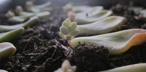 Propagating Succulents: Learn how to propagate succulents from leaves and cuttin