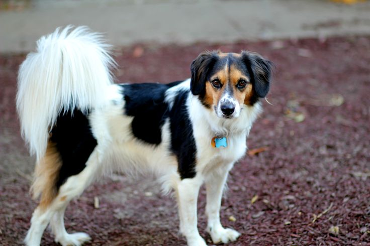 Border collie beagle