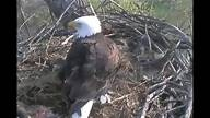 Decorah Eagles Webcam - I can't stop watching! Mama & papa Bald Eagles nest cam with their three little ones. Awesome!
