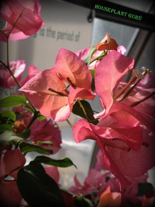 Bougainvillea buttiana bracts  Krohn Conservatory