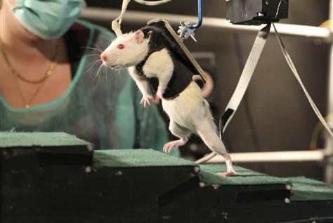 Paralyzed rats walk again in Swiss lab study
