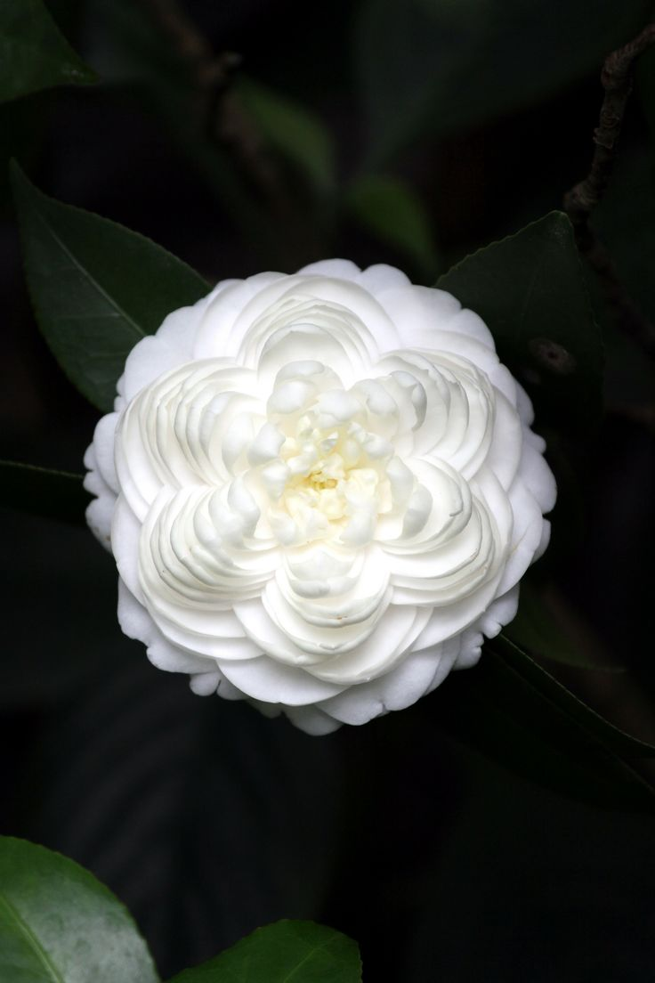 White camellia flower meaning images for Signification amaryllis