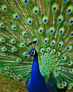 pictures of peacocks | ... an infestation of peacocks that is invading the design world as of