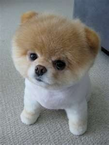 Boo the Dog: Boo The Dog, Photos Galleries, Little Puppies, Cutest Dogs, Teddy Bears, So Cute, Pomeranians Puppies, Stuffed Animal, Little Dogs
