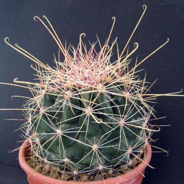 ferocactus hamatacanthus - Cerca con Google