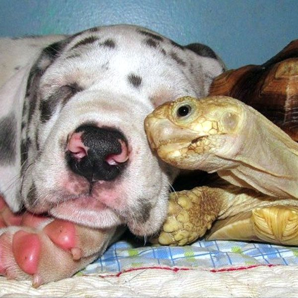 "Even the largest Great Dane could not intimidate this personable tortoise. Posted by <a href=""http://animaladdiction.tumblr.com/post/43735668083"">animal addiction</a> on Tumblr."