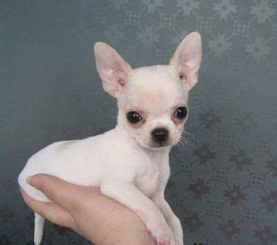 Chihuahua...I so want another one!!