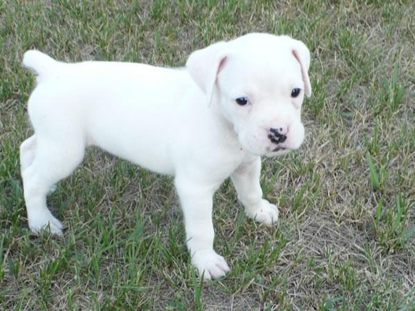 White boxer puppy!