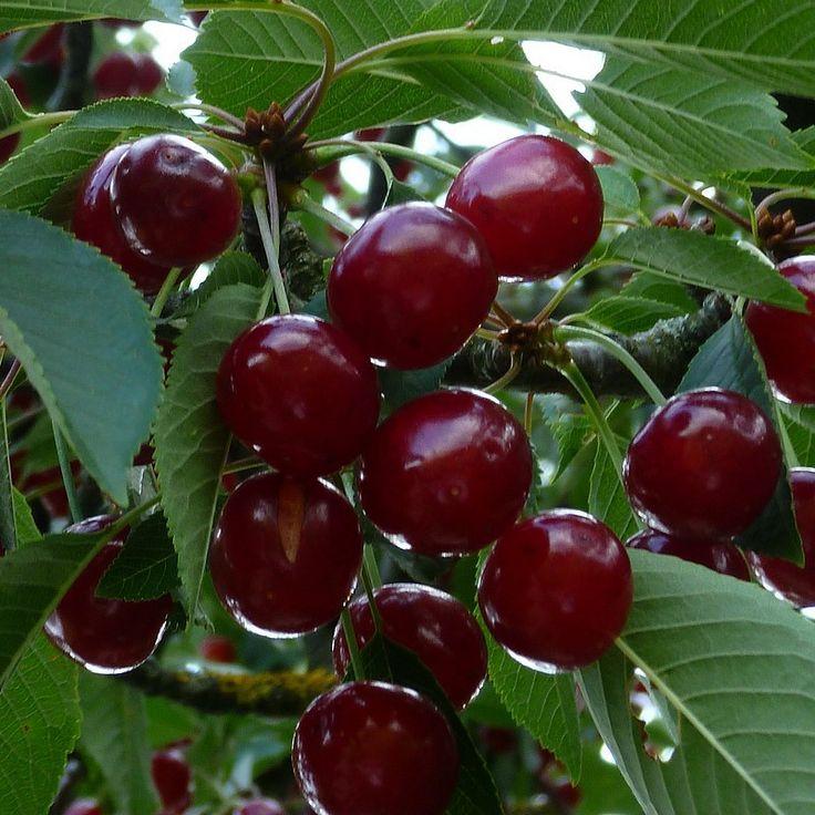Cerisier Bigarreau 'Hâtif de Burlat' - Prunus cerasus early red