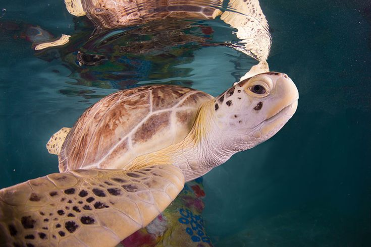 We care for five different species of sea turtles found in the Gulf of Mexico, two of which are endangered. Learn more about our resident sea turtles