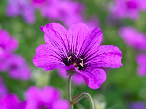 Noted for its exceptionally long flowering period, award-winning Geranium 'Patricia' is quite eye-catching with its profusion of magenta-pink cup-shaped flowers with black star-shaped centers, rising atop mounds of deeply cut, dark green leaves that turn stunning shades of red in fall