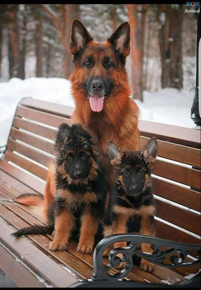 Pin By Cilade On Hot Diggity Dog Dogs Shepherd Puppies German