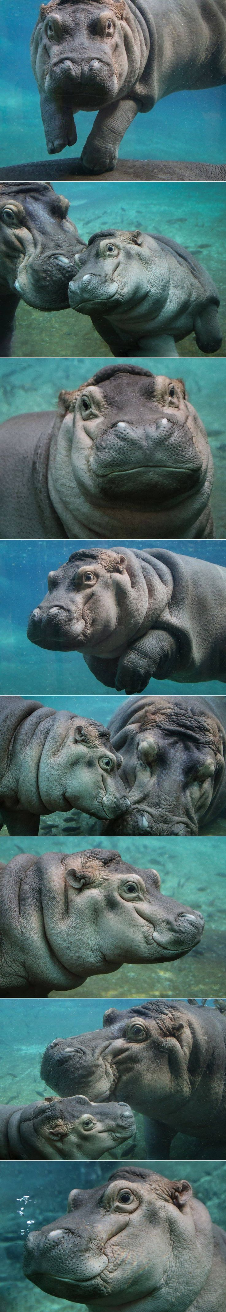 Happy hippos at the San Diego Zoo <3 photos by Penny Hyde #coupon code nicesup123 gets 25% off at  www.Provestra.com www.Skinception.com and www.leadingedgehealth.com