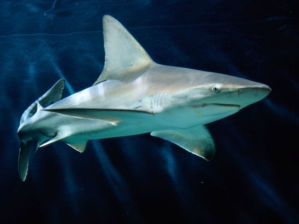 Sandbar Shark ... Like other shark species, this sandbar shark has electroreceptors, hundreds of specialized pores located on and around its head. This sensory system detects the electric fields all animals give off with every heartbeat or movement of a muscle. Sharks use this incredible ability to locate even buried prey, like stingrays on the seafloor. Large sharks can detect an electric field at about three feet (one meter).