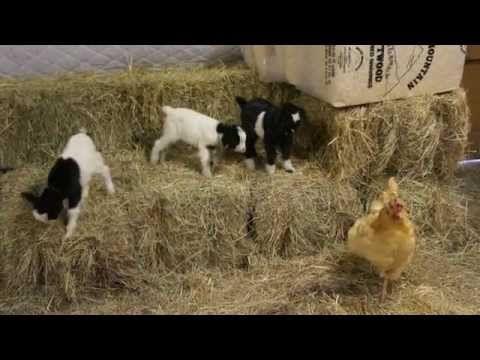 Baby Fainting Goats Meet Barn Chicken - YouTube
