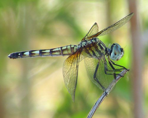 """Female Dragonflies Fake Death To Avoid Males   According to Huffington PostFemale dragonflies are the CURVE G.O.A.T.S, read more below: """"The University of Zurich's Rassim Khelifa, who has studied dragonflies for the past decade, told New Scientist that he was collecting moorland hawker dragonfly larva in the Swiss Alps when he first... #Activism, #AirFilter, #Amazoncom, #Android(OperatingSystem), #ArcticCircle, #AtmosphereOfTitan, #AudioQuest, #BusinessInsider, #Cur"""