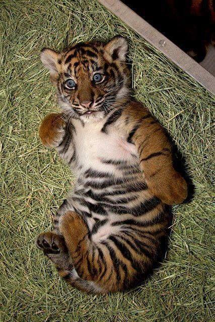 Les 58 meilleures images du tableau petits f lins sur - Bebe tigre mignon ...