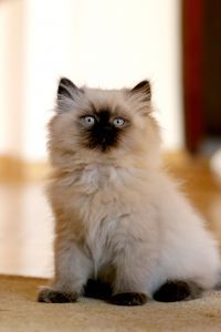 Himalayan:   The Himalayan cat breed has the body and the coat of the Persian with the beautiful colors and patterns and blue eyes of the Siamese.