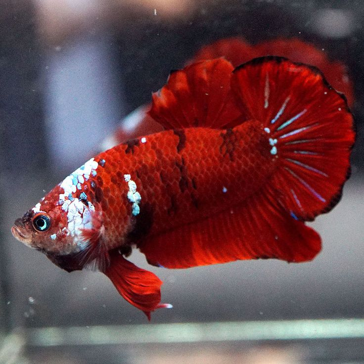 1828 best betta addiction images on pinterest aquarium for Best place to buy betta fish online
