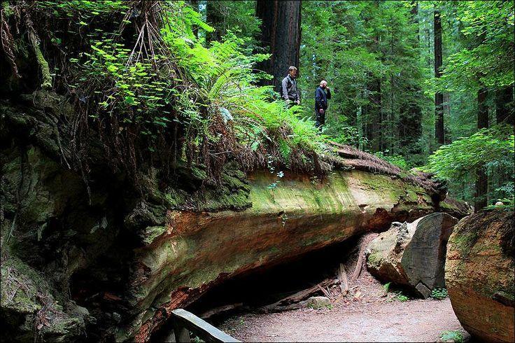 Dyerville Giant, fallen Coast Redwood (Sequoia sempervirens) near Founders Grove, Humboldt Redwoods