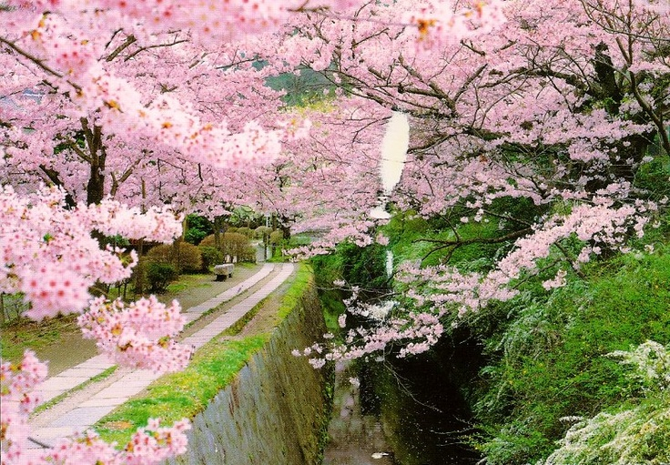 Cherry Blossoms from Japan