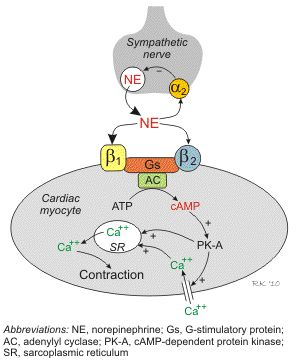 Beta-adrenoceptors coupled to Gs-proteins and cAMP formation in the heart. Beta-blockers are used for treating hypertension, angina, myocardial infarction, arrhythmias and heart failure.