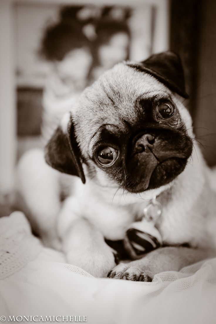 best pugs images on pinterest doggies baby pugs and pug dogs