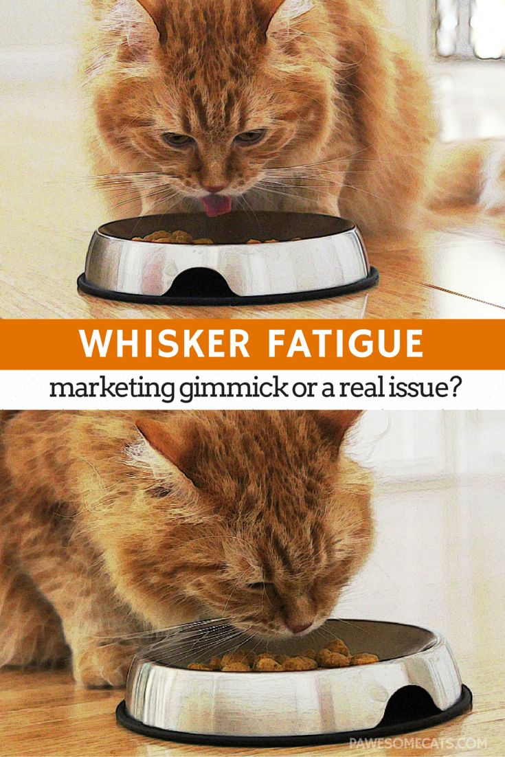 Whisker Fatigue Is There Really Such a Thing Cats, Cat